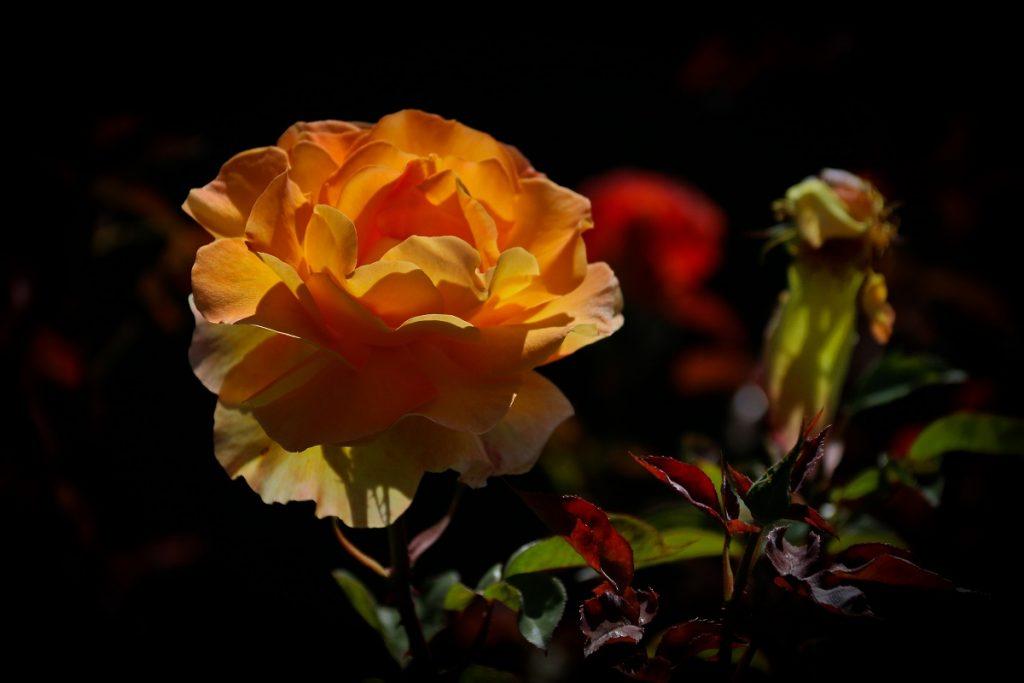 Christchurch Botanic Garden Roses